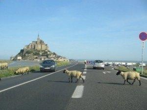 羊の横断。のどかです。