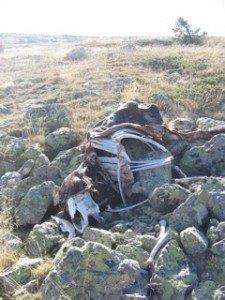 白骨化した牛。。。自然の厳しさです。。。