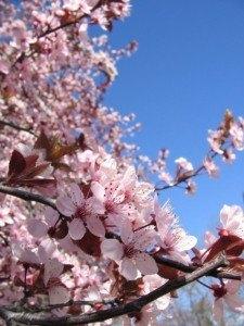 満開の桜。真っ青な空に濃いピンク色。日本の桜よりゴージャスな感じです。