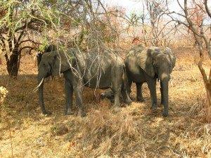 子象を守る親象たち