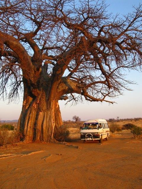 バオバブの木の大きさは圧巻です。