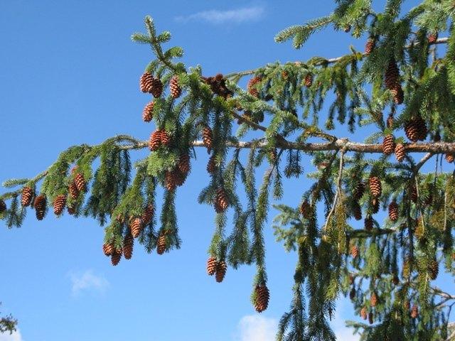 たわわに実った松ぼっくり。こんなに重さで垂れ下がった木を初めて見ました!