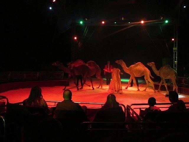 """ラクダです。ちなみに、日本では一こぶラクダも二こぶラクダも同じラクダですが、スペイン語では一こぶラクダは""""dromedario""""、二こぶラクダは""""camello""""となります。"""